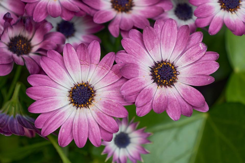kvetoucí chryzantémy